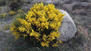 El manto amarillo está por buena parte de la provincia.