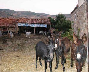 Encierro de burros en San Martín de la Vega
